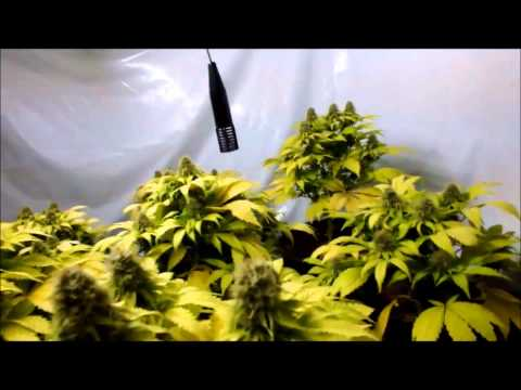 Medical marijuana growing: Great White Shark flowering HD